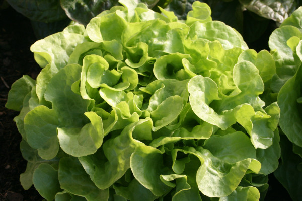 Salade feuille de chêne verte BIO